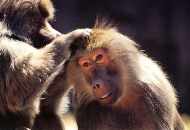 maimute amuzante