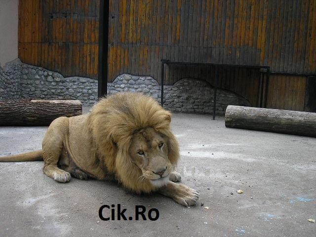 atacat de leu