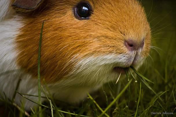 porc guinea
