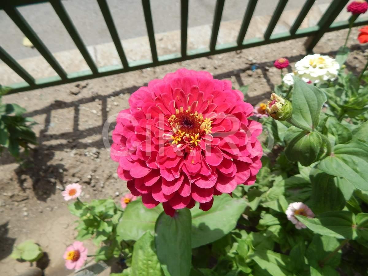 floare mare