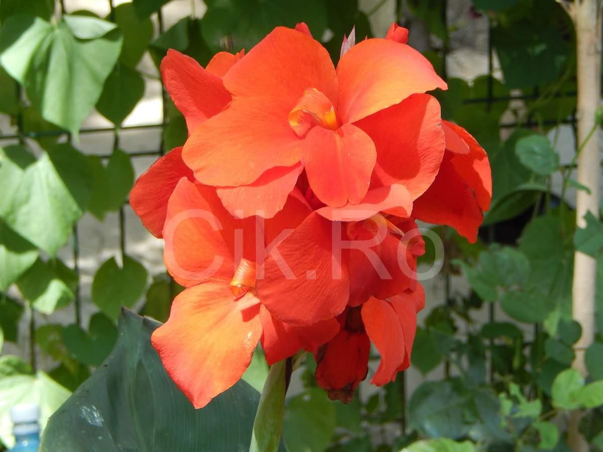 floare frumoasa