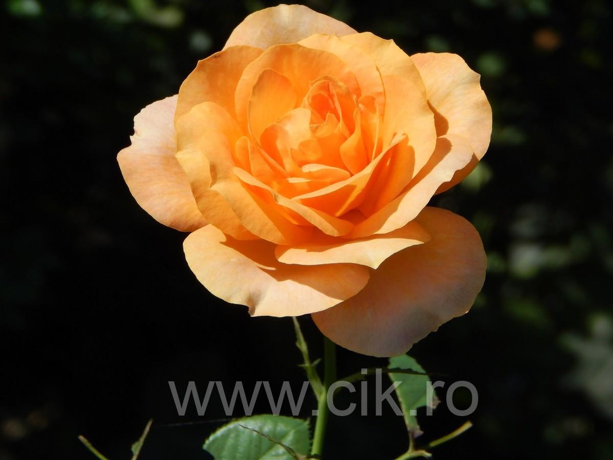 trandafir mare