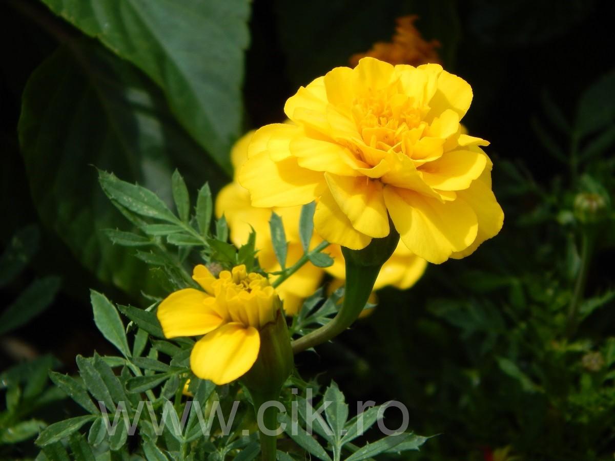 floare galbena