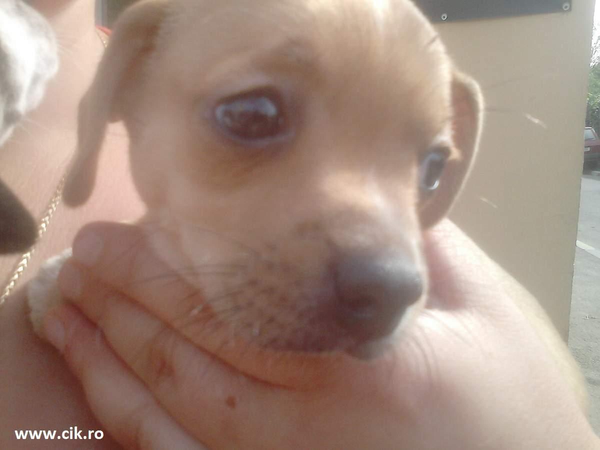 pui de Chihuahua