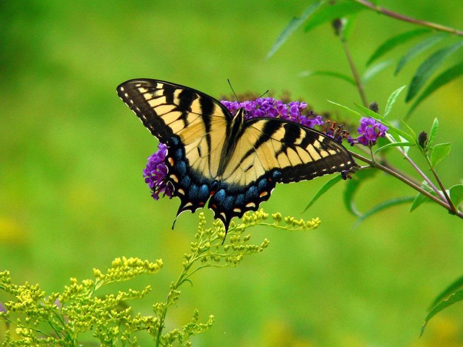 Astazi sunt un fluture