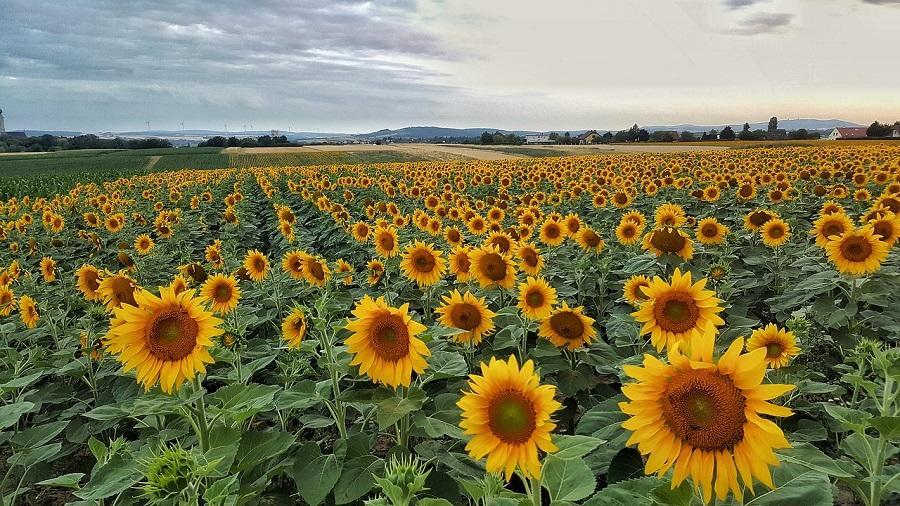 cati bani scoti din agricultura floarea soarelui