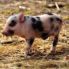 trebuie sa fii purcelus cu porcii