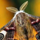 molia din buzunar